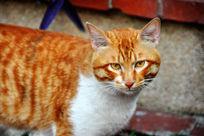 黄色的猫咪