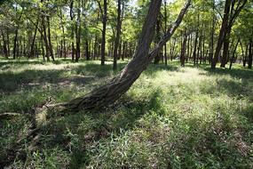 森林中歪倒生长的一棵树