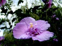 淡紫色的木槿花