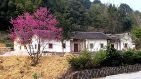 屋旁盛开的樱花