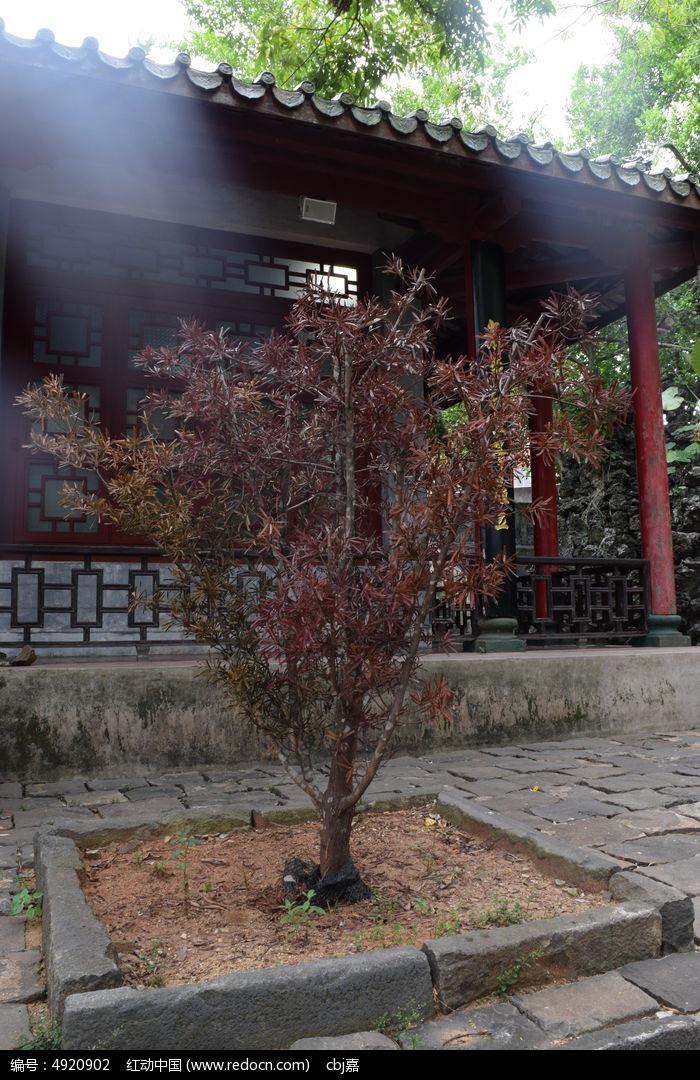 一颗红色叶子的小树图片