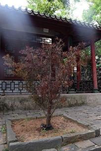 一颗红色叶子的小树