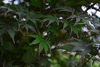 红枫树树叶