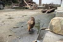 农家小院的水滩啄食的黄母鸡