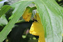阳光下树叶遮阳丝瓜花上的采蜜蜜蜂