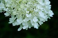 白色小花朵