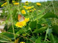 飞在黄菊花上的蝴蝶