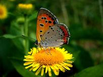 花黄蝴蝶飞在黄菊花上