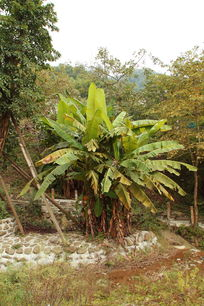 远处的芭蕉树