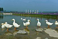 水边的一群鸭子