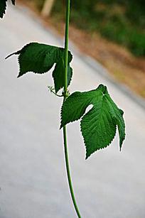 植物叶子特写