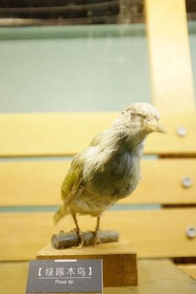 黄冠绿毛啄木鸟标本