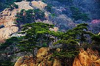 振衣冈山上生长的几棵松树