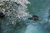 杭州太子湾公园里的樱花