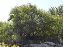 树枝茂密的树