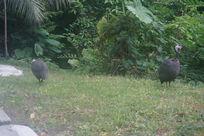 草地上的鸡