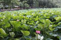 翠湖满池的荷花叶