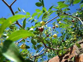 红枣成熟的季节