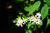 阳光下的野菊花