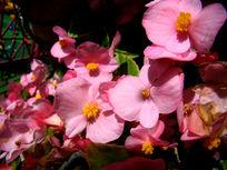 一堆漂亮的秋海棠