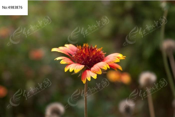鲜艳的一朵红花图片