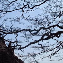 黄山树木枝干