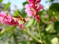 落在一枝大红蓼采花粉的蜜蜂