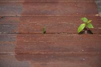 木栈道里长出的小草