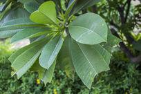 南湖公园绿色叶子