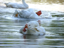 水中的大白鹅