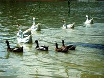 水中嬉戏的群鹅们