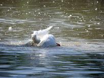 水中自己玩的白鹅