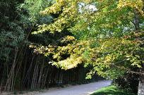 林中小路边的枫叶树