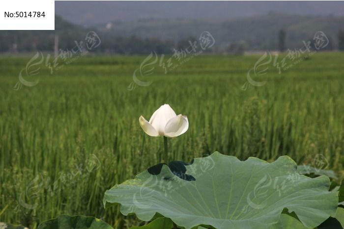 稻田旁的白荷花图片