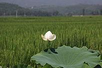 稻田旁的白荷花