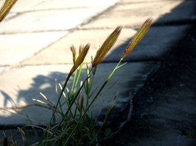 风中三颗嫩草