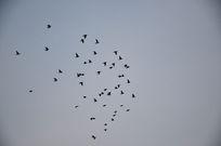 傍晚一群在空中飞翔的鸽子
