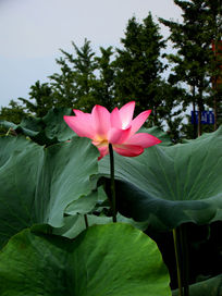 荷塘里最美的水芙蓉