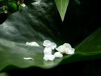 荷叶上白色荷花花瓣