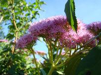 俊美可爱的粉花绣线菊