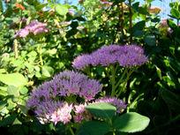 两朵秀丽的粉花绣线菊