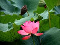 水芙蓉永远展示自己美的一面