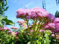 阳光里的粉花绣线菊