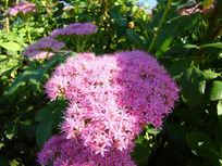 一朵俊美的粉花绣线菊