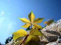 一片正面的爬山虎叶子