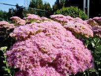 一片壮大的粉花绣线菊