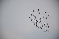 一群鸽子在傍晚的蓝天中自由的飞翔