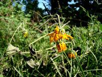 草丛里的菊芋花