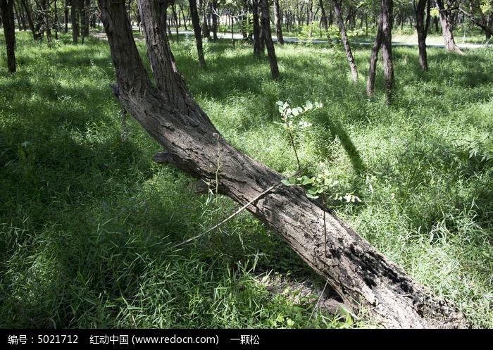 草地上一棵歪倒的槐树图片