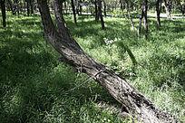 草地上一棵歪倒的槐树
